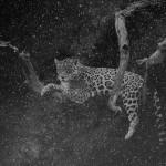 Que muera conmigo el misterio que está escrito en los tigres, 2016. Gelatine silverprint remastered negative, 40x60 cm. Ed.5 + 2 PA
